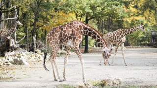 Tierpark Hellabrunn Giraffen in Hellabrunn