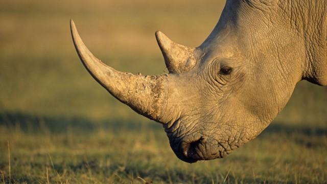 White rhinoceros Ceratotherium simum profile Kenya Lake Nakuru National Park White Rhinoceros PU