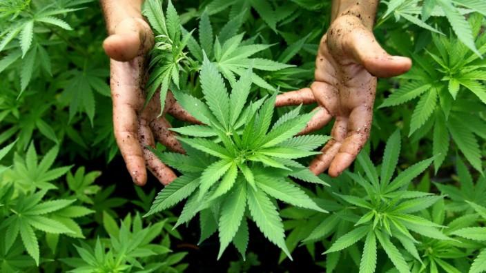 Regierung organisiert Anbau und Handel von Cannabis für Patienten