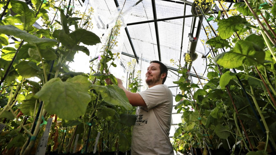Keith Sebourn checks on canola plants at a greenhouse run by Cibus, which is using genomic editing to develop herbicide-resistant canola.