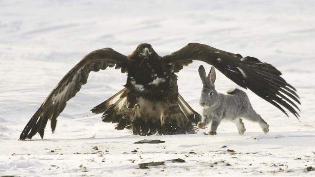 Ein Adler jagt ein Kaninchen