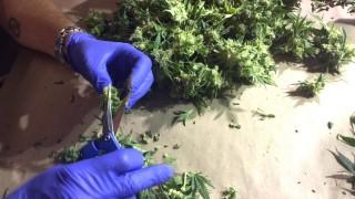 Cannabis Screenshots