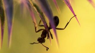 Ameise auf Distel