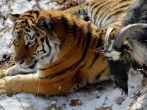 Tiger nimmt Ziege zum Freund