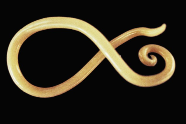 Male Parasitic Nematode Worm (Ascaris lumbricoides).