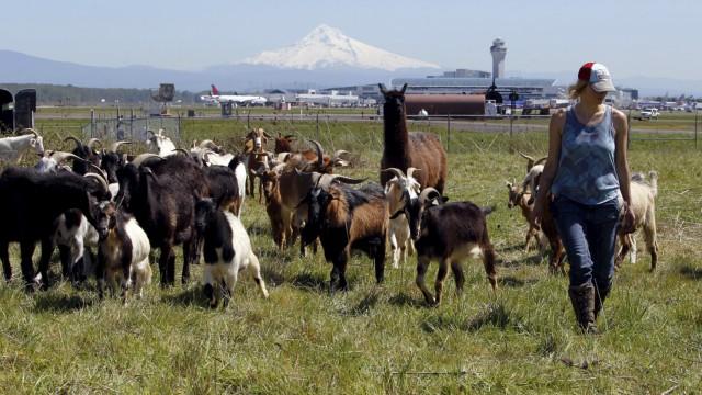 Briana Murphy, a shepherdess herds goats at the Portland International Airport in Portland
