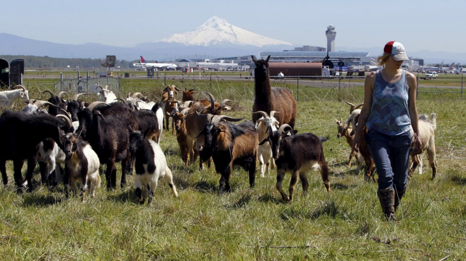 Briana Murphy, a shepherdess herds goats at the Portland International Airport in Portland