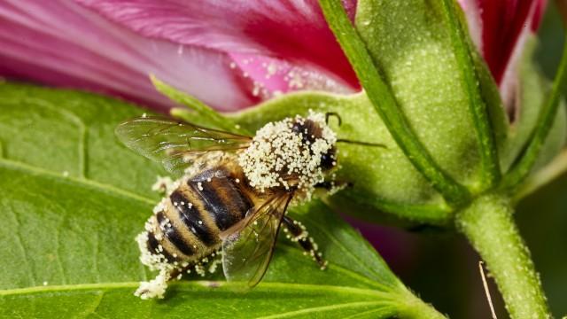 Bienen in Malvenblüten