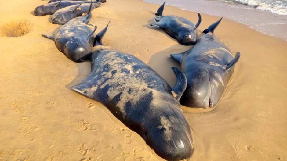 Pilot whales swept ashore a beach in Tamil Nadu