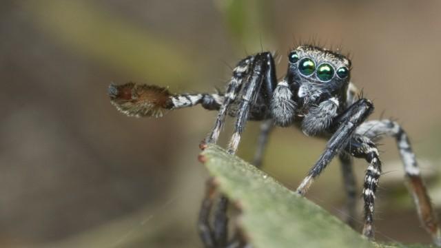 Spinne Balztanz von Spinnen