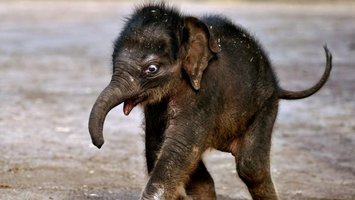 Elefantenbaby Pathi-Harn quicklebendig