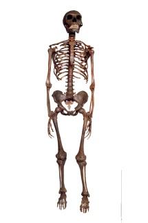 Homo neanderthalensis, Neanderthal Man skeleton model