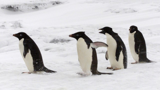 ADELIE PENGUINS MAKE THEIR WAY TO THE WATER IN THE CAPE EVANS REGION OF  ANTARCTICA.