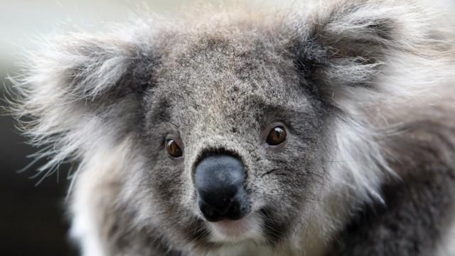 A juvenile koala is seen at an animal park near Melbourne