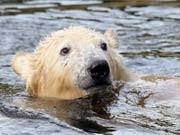 Eisbär Knut; dpa