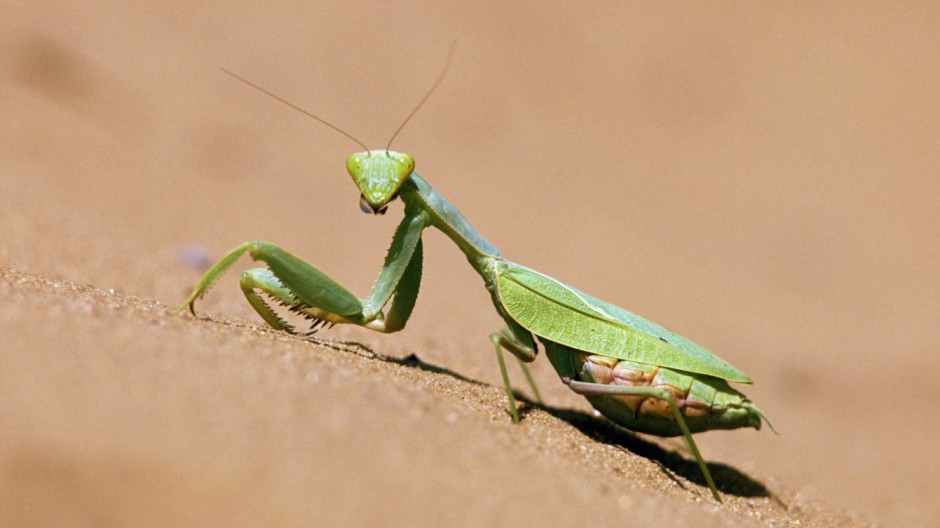 Praying mantis Mantodea sp Kalahari desert Botswana PUBLICATIONxINxGERxSUIxAUTxHUNxONLY