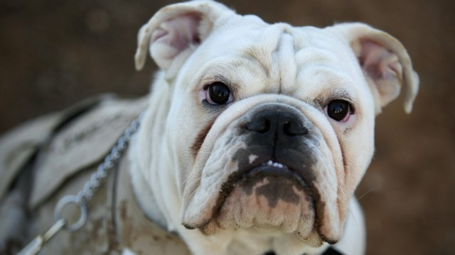 Sept 11 2014 September 11 2014 CAMP PENDLETON CA Six month old English bulldog Smedley Butler