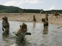 Long-tailed macaques wade into the sea to get fruits thrown from a Navy boat off Kledkaew island