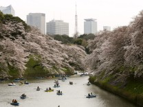 Tokyo cherry blossoms in full bloom