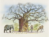 Bombacaceae or Malvaceae Baobab tree Adansonia gregorii surrounded by animals eating its fruits, illustration