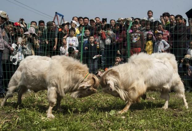 People watch a goatfight during a local festival in Dagong town of Nantong, Jiangsu Province, China