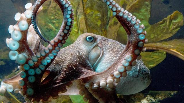 Krake aus Aquarium ausgebrochen
