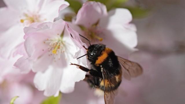 Hummeln brauchen einheimische Kräuter und Blumenwiesen