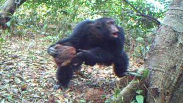Schimpansen-Ritual