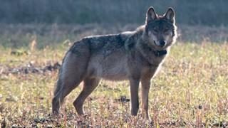 Wolf Kurti