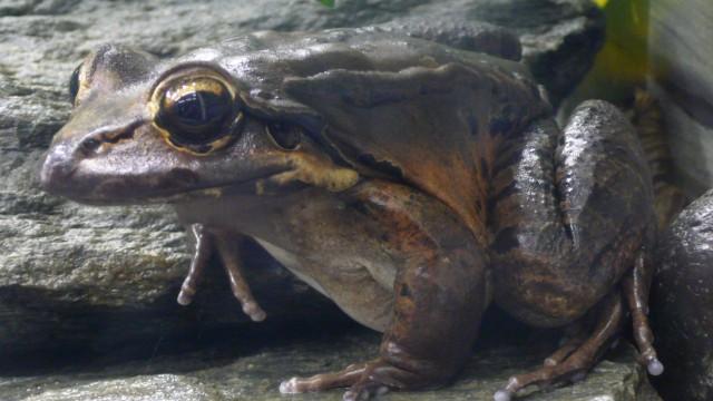 Amphibien Aussterbende Arten