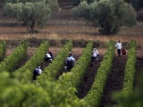 Workers harvest a vineyard that borders with a grove, in Attica prefecture, 60km north of Athens,