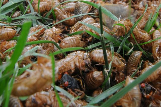 Heuschreckenplage in Kanada