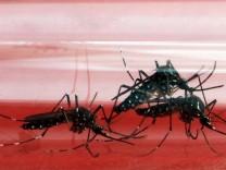Gelbfiebermücken