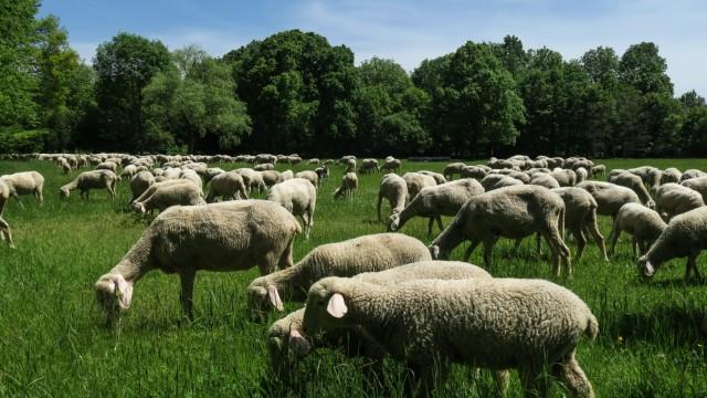 Schafe an der Flugwerft