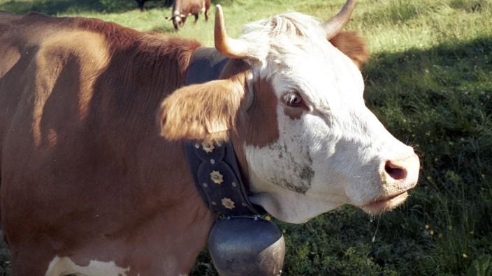 Kuh mit Kuhglocke