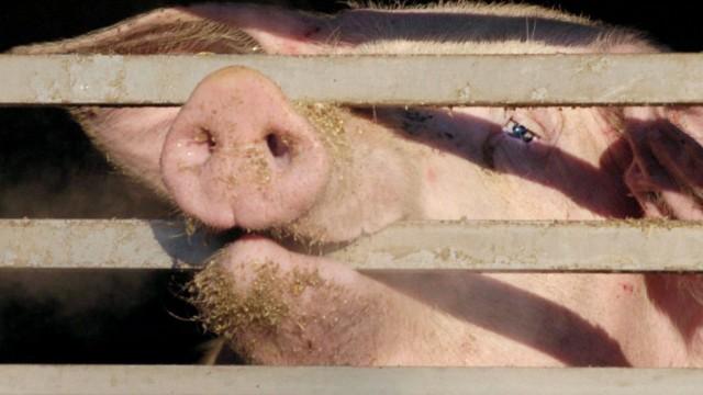 Schweine Tiertransport