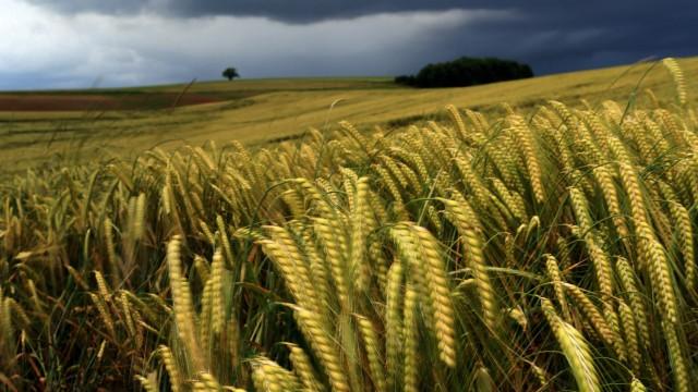 Getreideähren im Wind