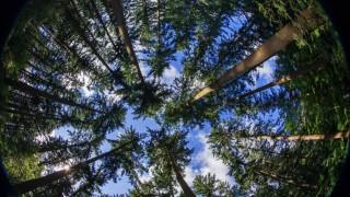 Zapfenpflücker klettern in die Bäume