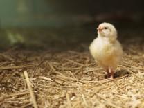Germany Baden Wuerttemberg Chicken looking up PUBLICATIONxINxGERxSUIxAUTxHUNxONLY MH000170