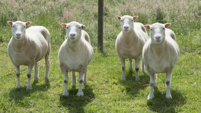 Geklonte Schafe altern normal
