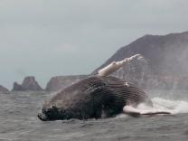 Humpback whales arrive in Ecuador