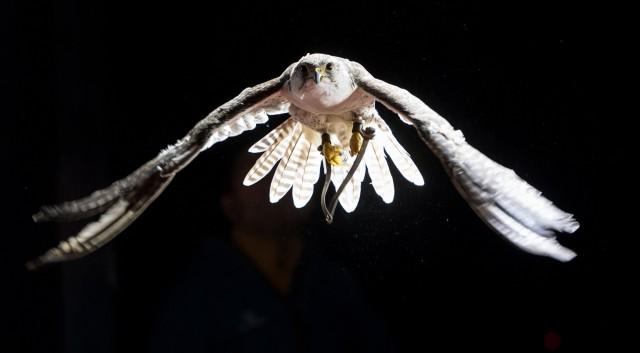 Falke fliegt im Windkanal