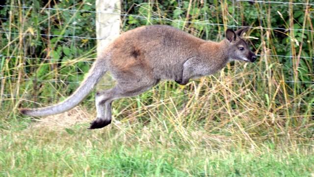 Känguru im Sauerland