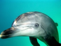 NATUR Unterwasserwelten Dec 12 2009 Bottlenose Dolphin Tursiops truncatus Black sea Ukraine