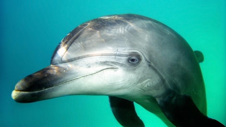 NATUR Unterwasserwelten Dec 12 2009 Bottlenose Dolphin Tursiops truncatus Black sea Ukraine