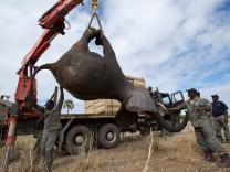African Parks: tranquilized elephants for translocation in Africa
