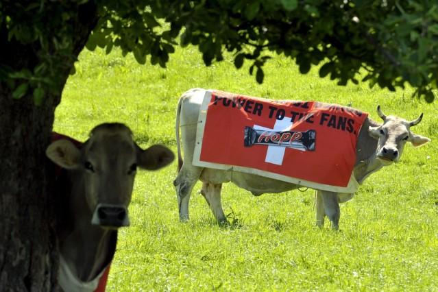 EURO 2008 - Kühe werben für EM-Schokolade