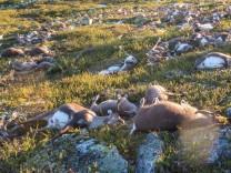 Dead wild reindeer are seen on Hardangervidda in Norway
