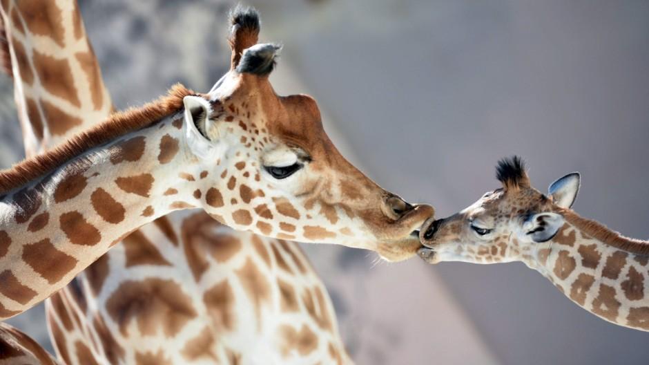 Giraffen Artenschutz