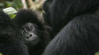 Gorilla Artenschutz